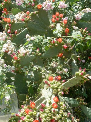 un minunat cactus urias in Olympos