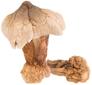 ciuperca, Maitake