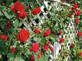Trandafiri si plante agatatoare pentru gradina
