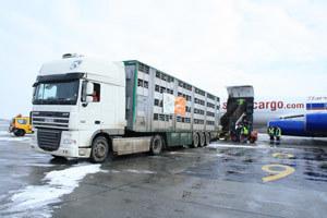 Un nou transport de vaci din Irlanda