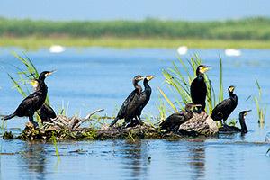 Delta Dunarii, cormorani