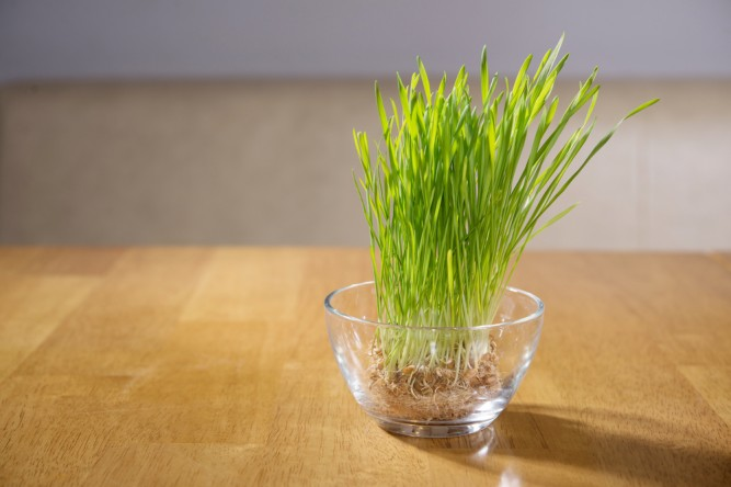 iarba-grau