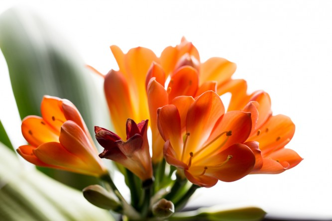 planta-crin-clivia-miniata