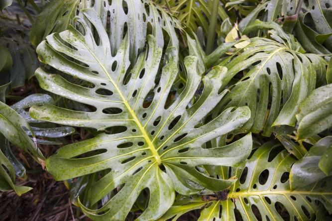 planta-monstera-deliciosa
