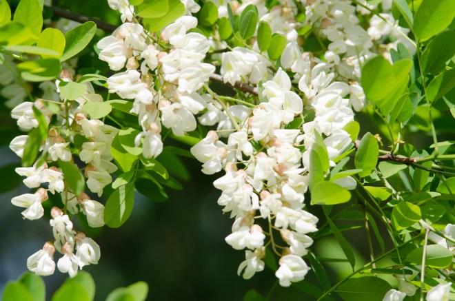 remedii naturiste cu flori de salcam