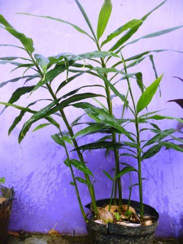 cum sa cultivi ghimbir in ghiveci