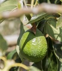 cultivarea fructului de avocado