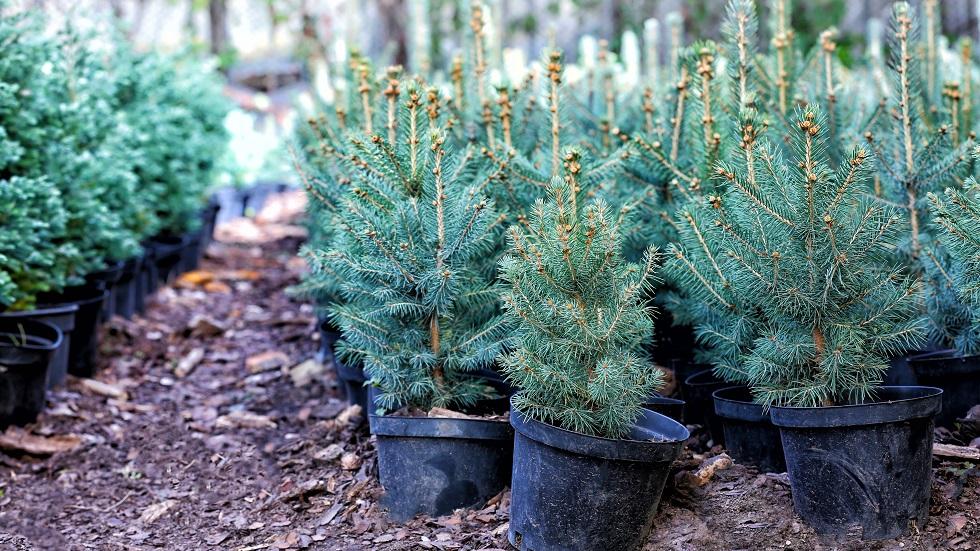 brad natural ghiveci plantare