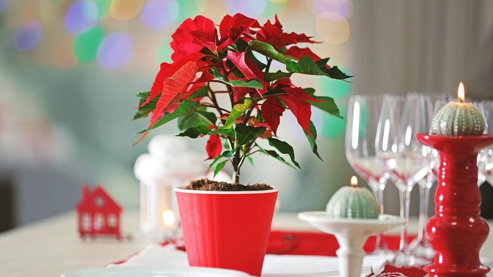 de ce trebuie să ai o Crăciuniță în casă