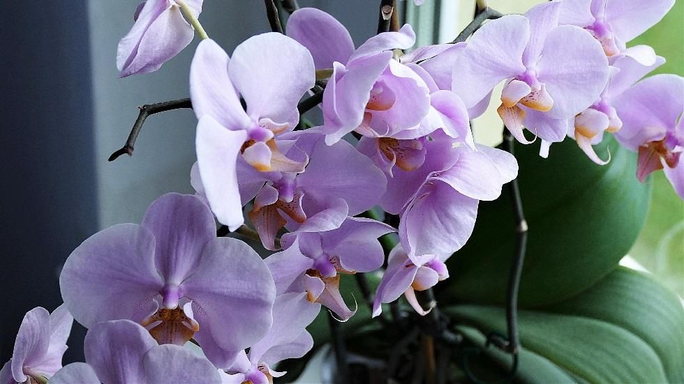 Ce trebuie să faci pentru ca orhideea ta să înflorească în mod constant