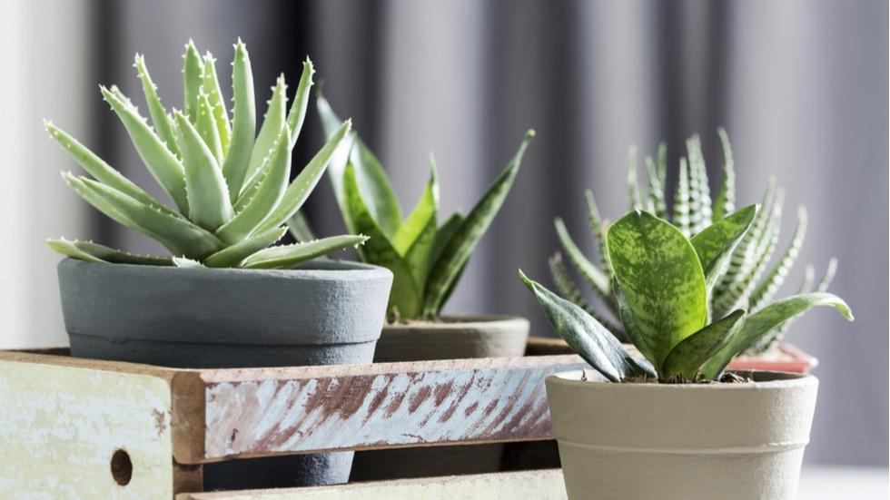 Planta pe care trebuie să o ai și tu în casă