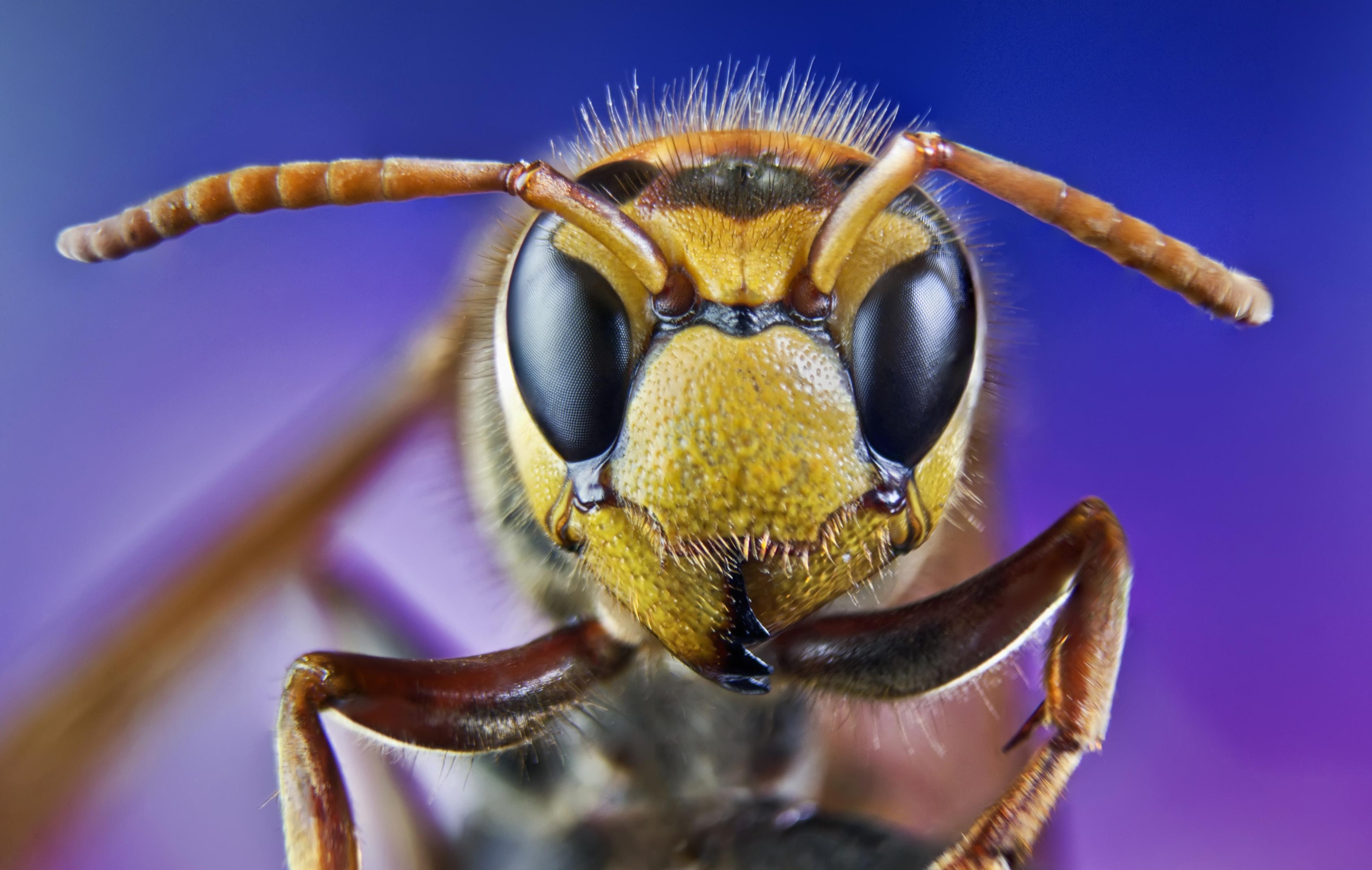 intepatura de albina sau de viespe